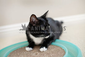 black-white-cat-on-cardboard-toy-ball-track