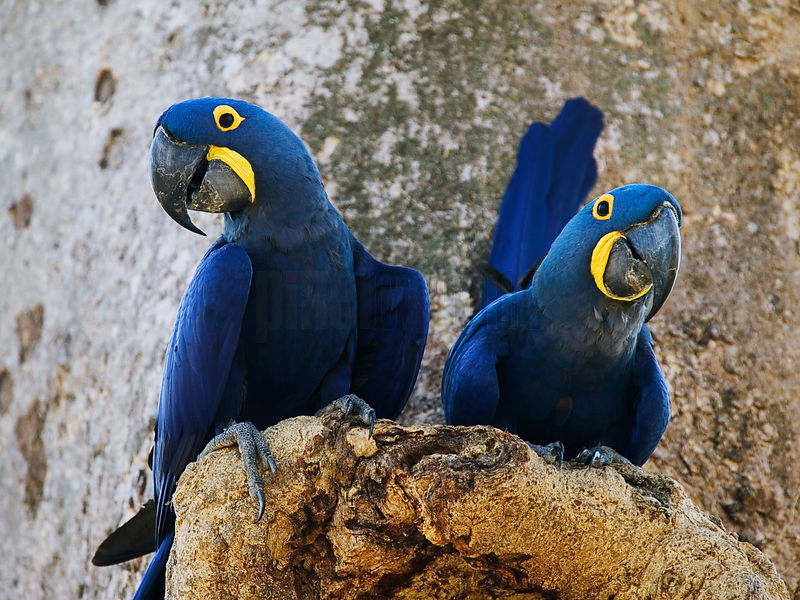 Hyacinth Macaws at Nest Cavity, Transpantaneira Highway, Pantanal, Mato Grosso, Brazil