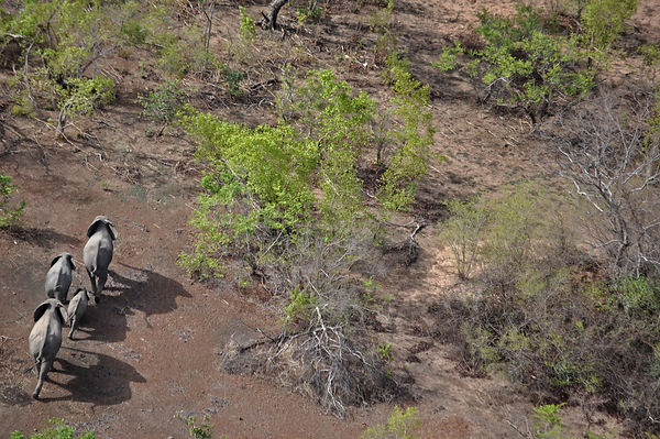 Four African Elephants (Loxodonta africana) seen from the air. Sahelo-Sudanese Biome, W National Park (UNESCO, IUCN & RAMSAR)...