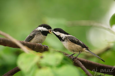 Chickadee Mealtime