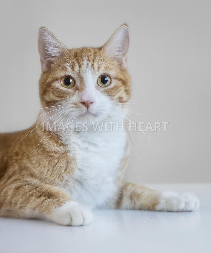 Orange and white cat looking at camera