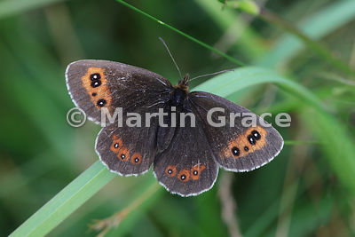 Upper side of male Scotch Argus butterfly (Erebia aethiops) resting on grass, Scottish Highlands, Cairngorms National Park, B...