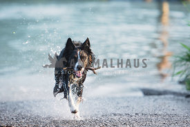 Border Collie with stick in mouth running out of the water