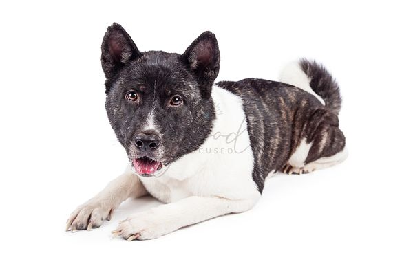 Alert Akita Lying On White Background