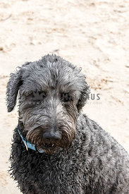 Grey hairy dog looking at camera sitting on a beach, ears pinned back out of sight, portrait mode, space at top.