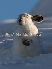 Mountain Hare (Arctic Hare) (Lepus timidus) sunbathing in snow, February 13, Strathdearn, Scottish Highlands. An interpolated...