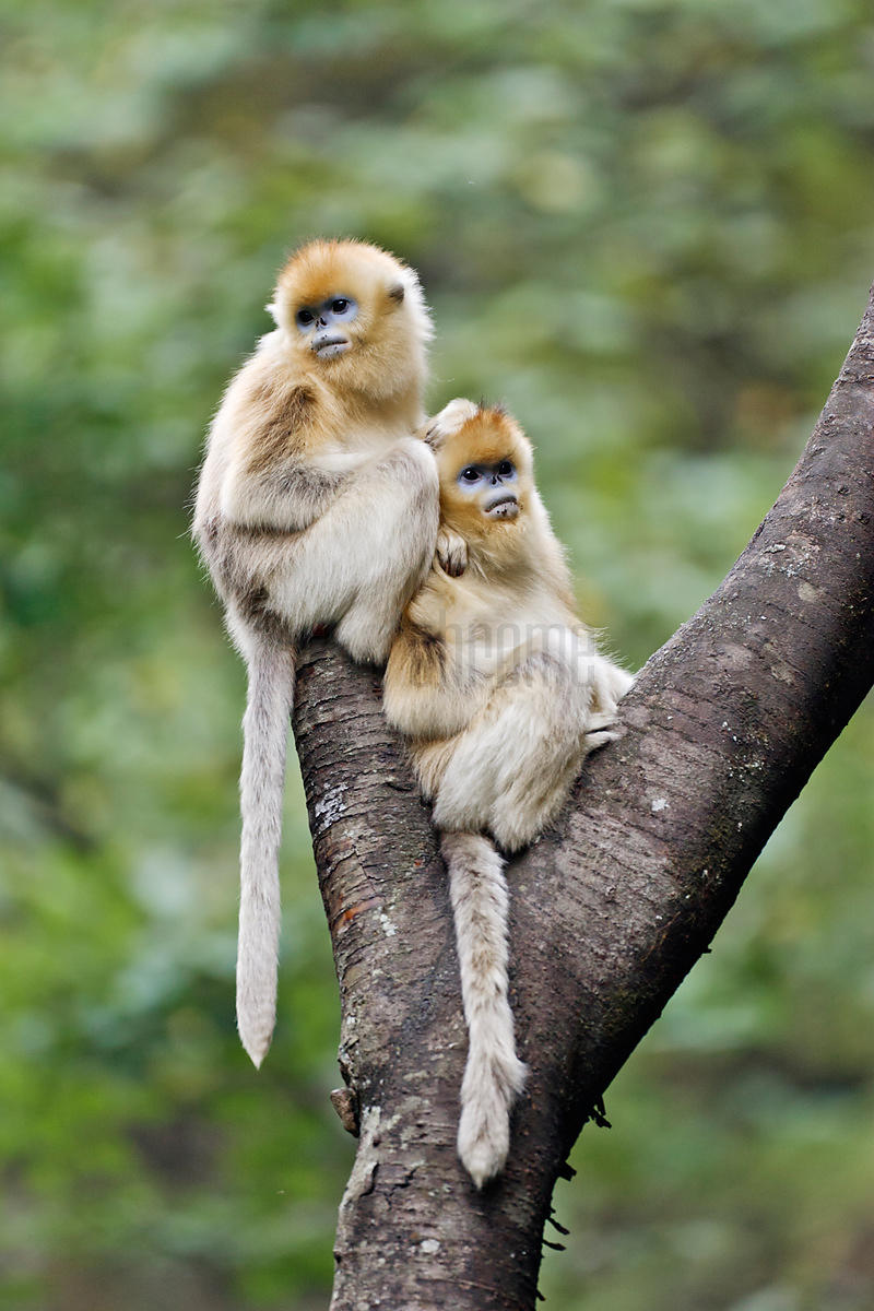 Young Golden Monkeys Sitting on Tree