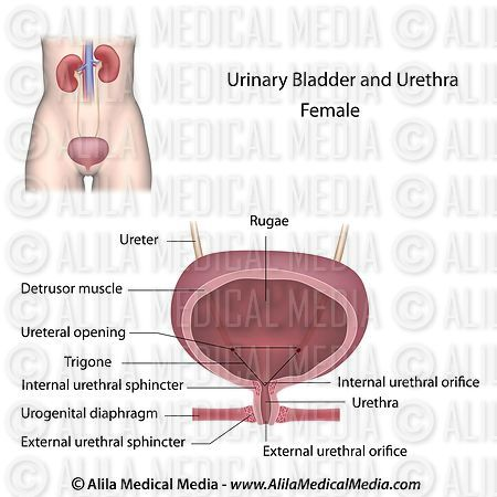 Alila Medical Media | Urinary organs in female, labeled
