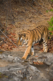 Bengal tiger (Panthera tigris tigris) male walking (B2), Bandhavgarh NP, Madhya Pradesh, India