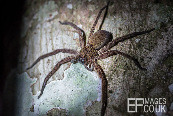 Huge Huntsman Spider On A Tree In The Kinabatangan Rainforest