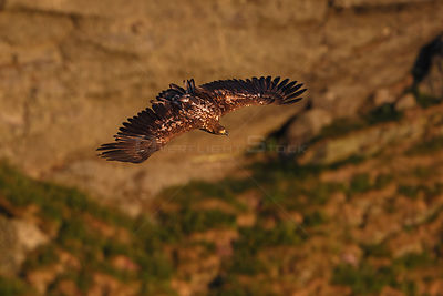 White-tailed sea eagle (Haliaeetus albicilla) in flight hunting a seabird cliff on Vedoya Island. Rost, Lofoten, Nordland, No...