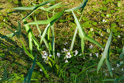 White flowers and arrow shaped leaves of Arrowhead
