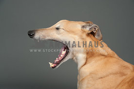 head and shoulders fawn greyhound yawning in the studio facing left