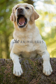 yellow Labrador retriever dog has an opinion about staying in an down on a tree stump
