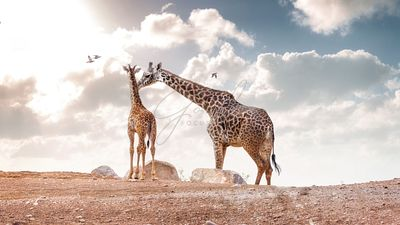 Mother Showing Affection to Baby Masai Giraffe