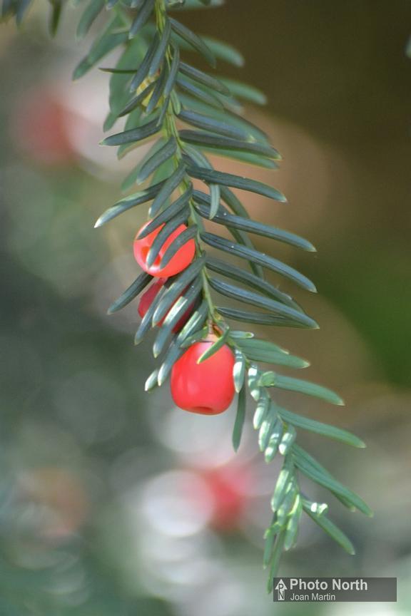 YEW 03A - Yew berries