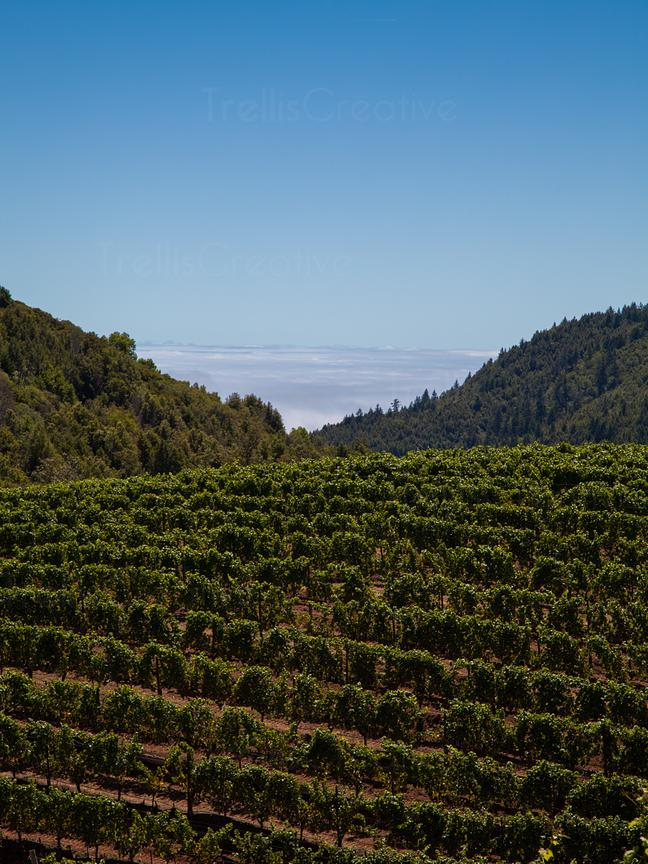 Sea View Vineyard