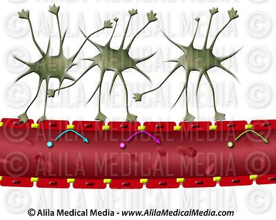 Astrocyte and the blood brain barrier