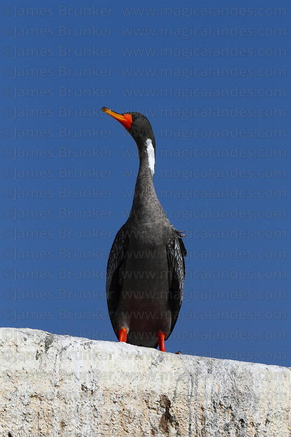 Adult Red legged or Gaimard's cormorant ( Phalacrocorax gaimardi )