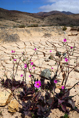 Flowers in dried up lake bed , Llanos de Challe National Park , Region III , Chile