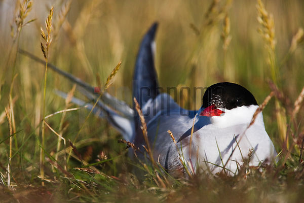 Arctic Tern on Nest, Iceland