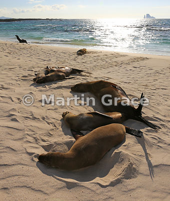 Galapagos Sea Lions (Zalophus californianus wollebacki or wollebaeki) sleeping on the beach at Cerro Brujo with Kicker Rock b...