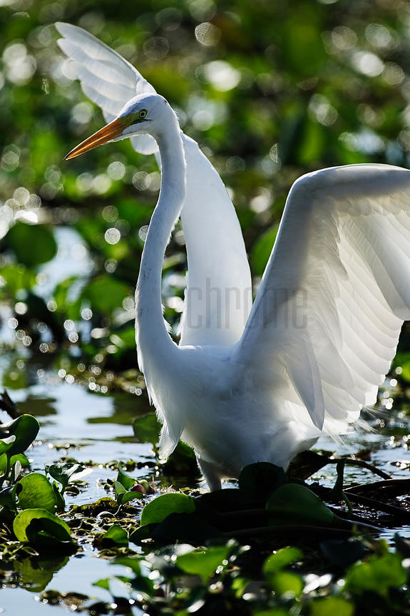 Great Egret Fishing, Transpantaneira Highway, Pantanal, Mato Grosso, Brazil