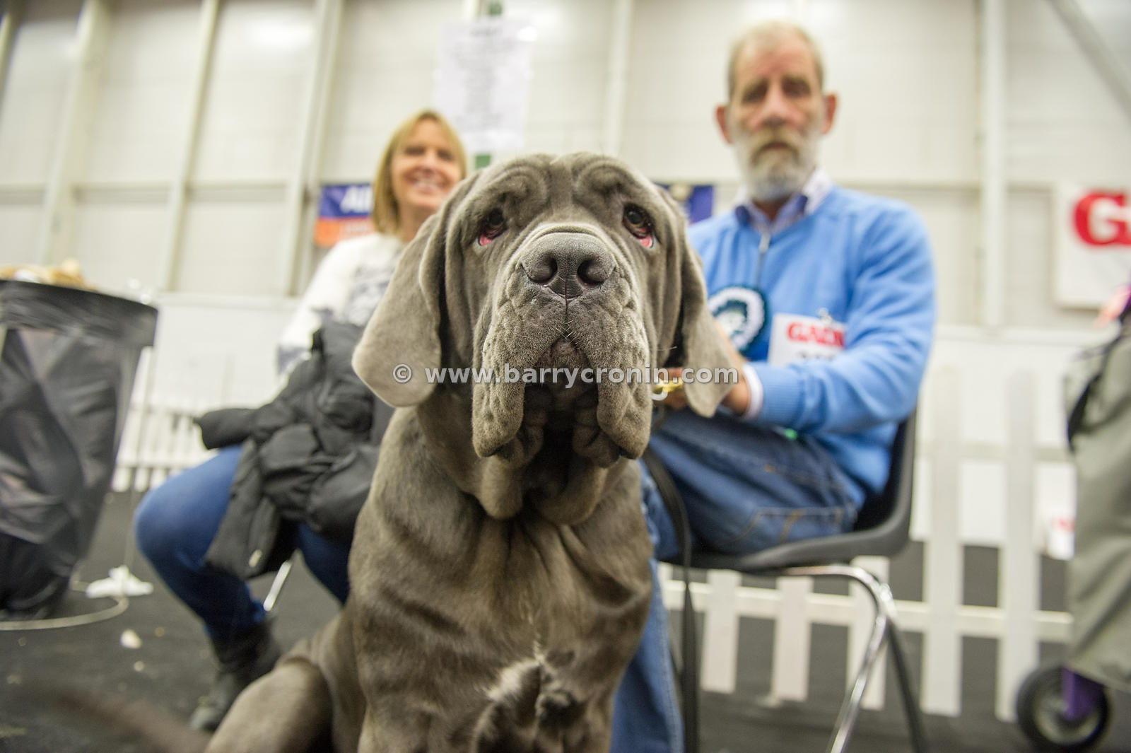 5th October, 2014.IKC (Irish Kennel Club) International show at Cloghran, Dublin. Pictured is 10 month old 'Calicio' a Neopol...