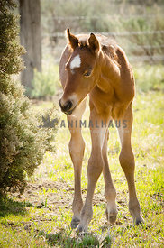 young bay foal with big white star on forehead in spring pasture