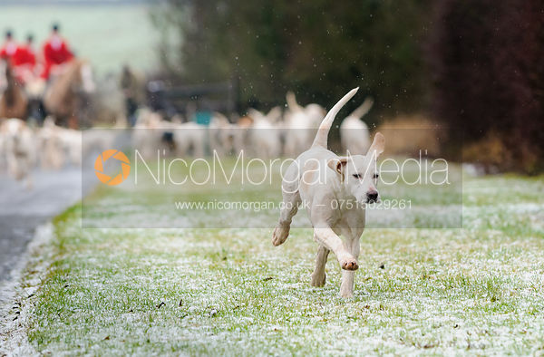 Stock image of a single Quorn foxhound leading the pack into Eye Kettleby Hall.