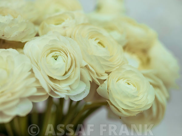 Ranunculus flowers close-up