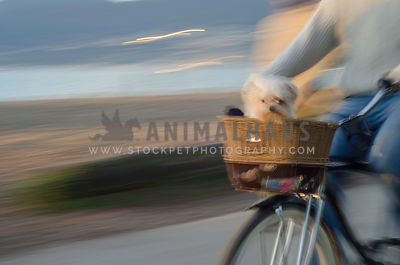 A small white dog rides in the wicker basket on the front of a bicycle