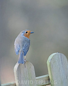 Robin Eithacus rubecula on garden fence Norfolk May