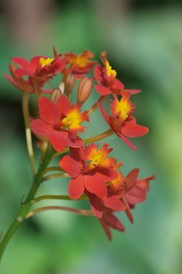 Red and yellow Hawaiian flowers