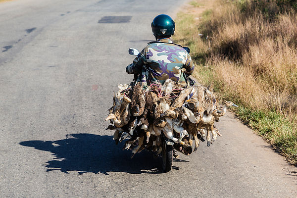 Ducks Being Transported to Market on the Back of a Motorcycle