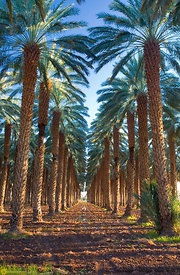 Rows of Date Palm Trees #2