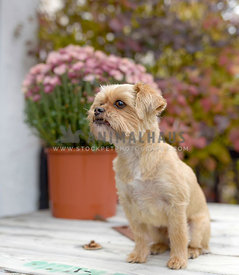 Groomed terrier with florals behind
