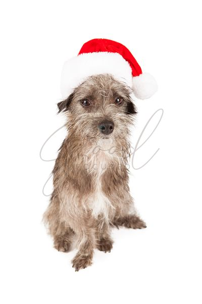 Unhappy terrier mixed breed wearing Santa hat