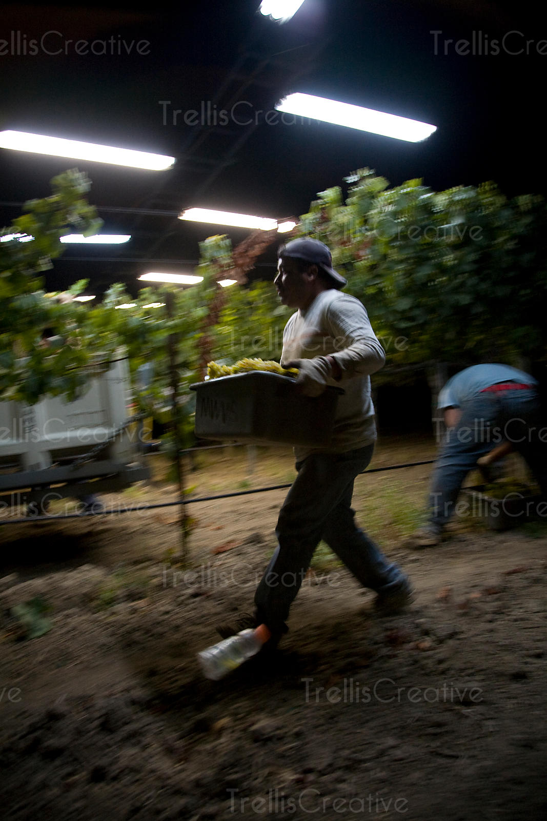 Workers run to empty bins of harvested chardonnay grapes during midnight harvest
