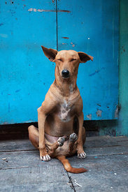 A stray dog sits in a hilarious posture in a market in Kumartoli, Kolkata, India.