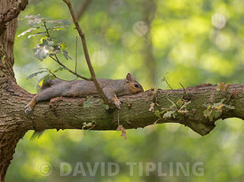Grey Squirrel Sciurus carolinensi stretched out on very hot days in woodland in earlysummer , Norfolk