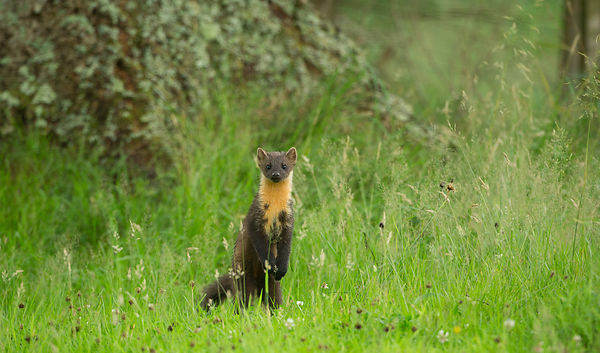 Pine Marten keeping a lookout