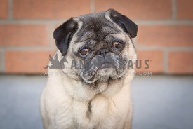 pug against brick wall
