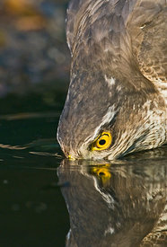 Sparrowhawk Accipiter nisus drinking at pool Norfolk spring