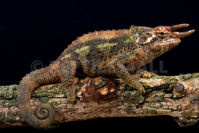 Werner's three horned chameleon (Trioceros werneri)