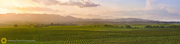 Vineyards, Dunnigan Hills #2