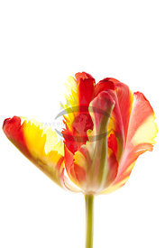 Tulips by Anna