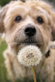 Terrier Mix checking out a dandelion