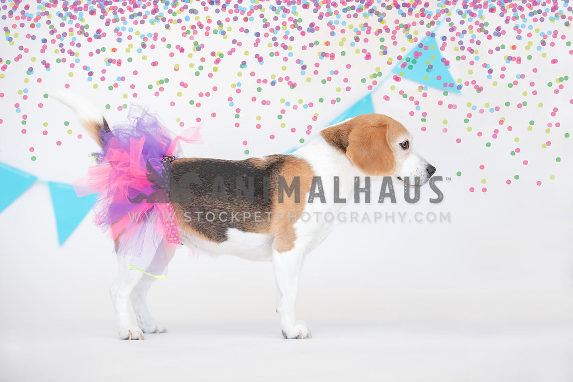 full side view of standing beagle wearing a pink and purple tutu
