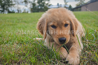 Golden Retriever Puppy Lying in Grass